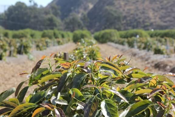 California Avocado   gimmesomeoven.com