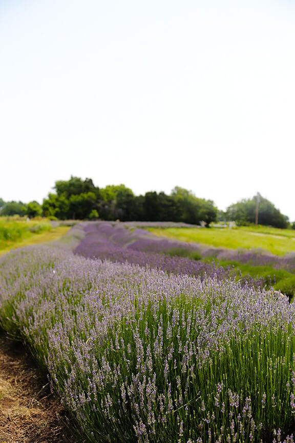 Sparkling Lavender Lemonade | gimmesomeoven.com