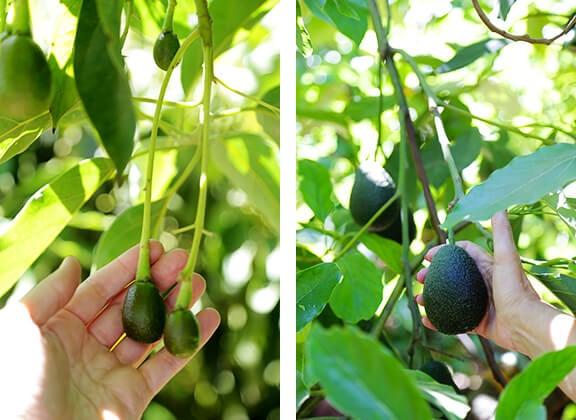 California Avocados | gimmesomeoven.com
