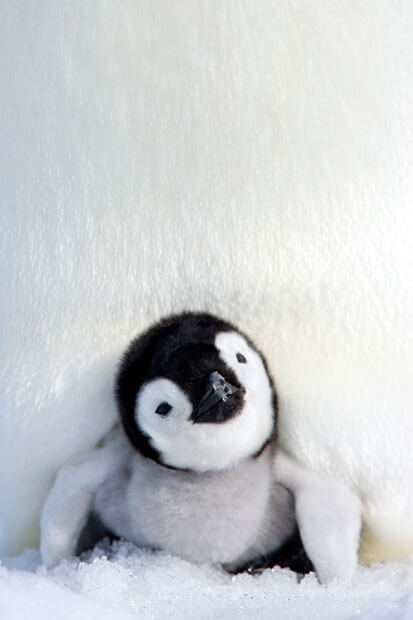 Penguin Chick | Telegraph