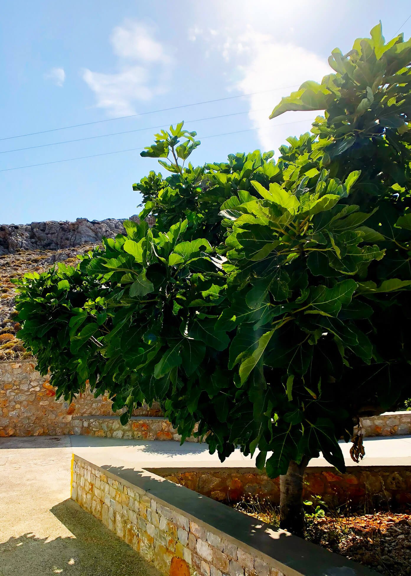 Fig Tree at Anemi Hotel in Folegandros, Greece