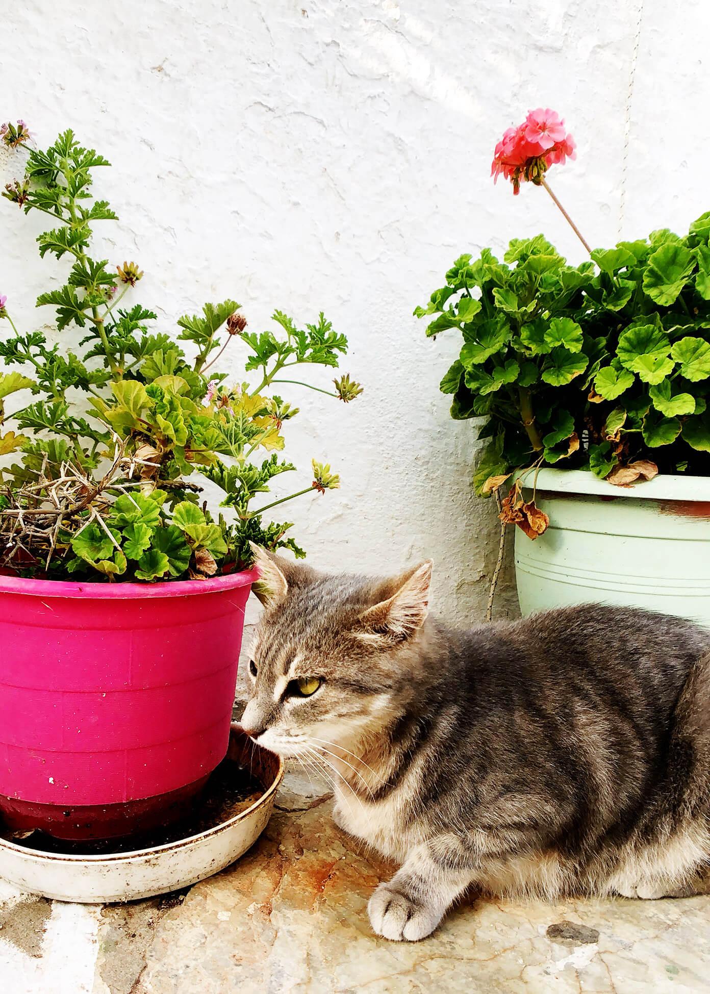 Cats in Folegandros, Greece