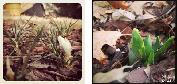 crocus & hyacinth in my garden | Kansas City, KS 2013