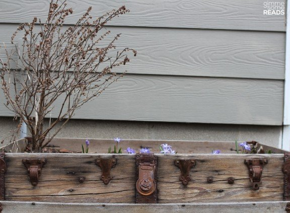 Glory-of-the-Snow flowers (Chionodoxa) in my back yard
